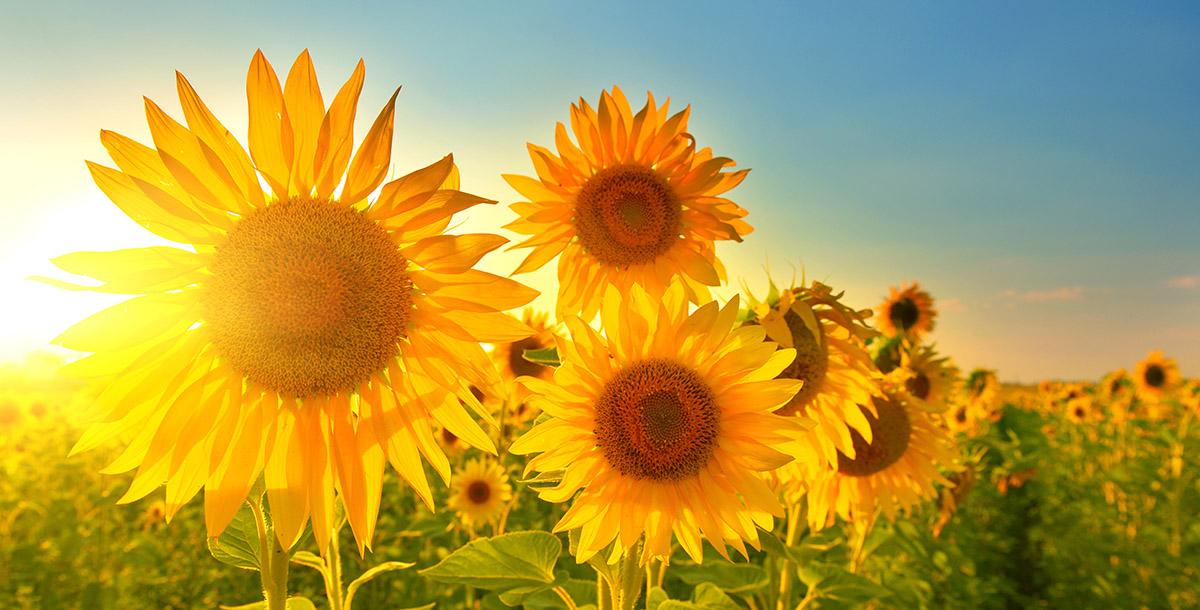 Sunflower Oil | U.S. Based Food Commodities Exports | Agri International LLC